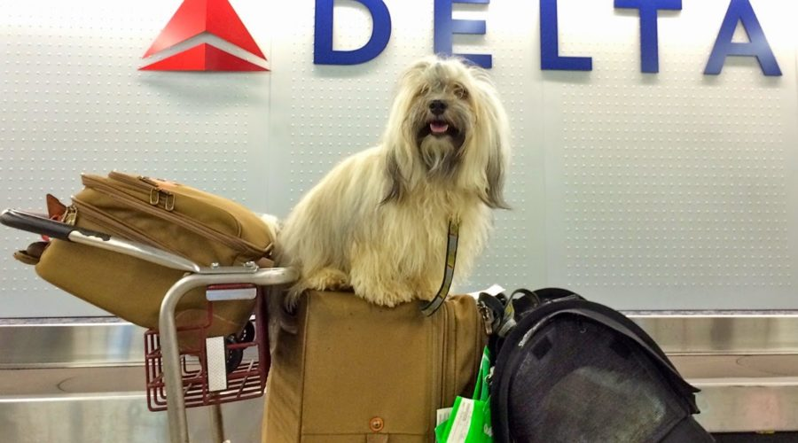 Import af en hund: fejl, der skal undgås, når man rejser med hunde internationalt