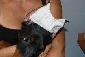 Methode voor het plaatsen van een licht oor - plakband