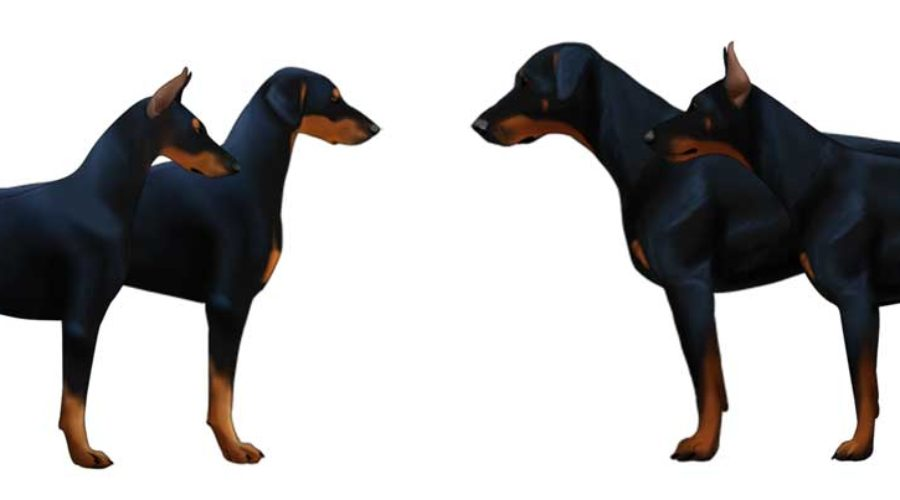 Amerikansk vs europeisk Doberman