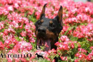 Altobello Dobermann kennel review
