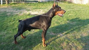 Lipar Land Dobermann kennel
