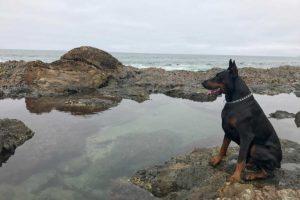 European Doberman at the beach