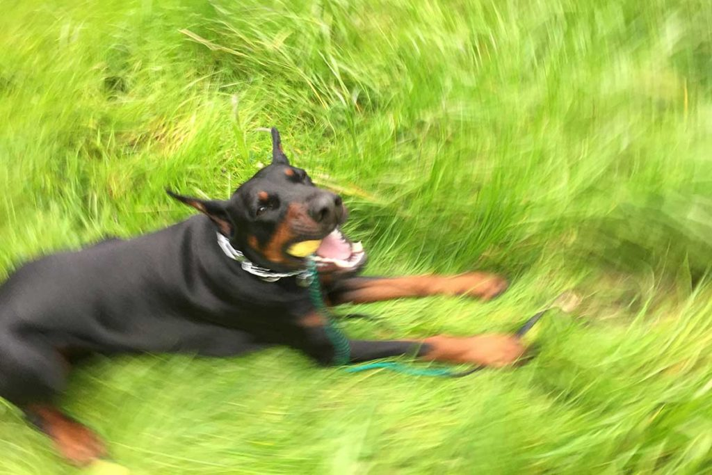 European Doberman playing with a ball
