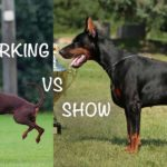 european working doberman vs show doberman