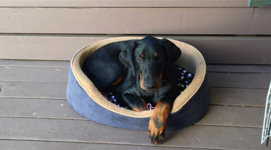 How to raise a doberman puppy – first days at home
