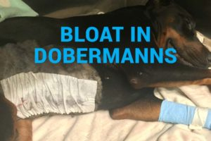 Bloat in Dobermanns