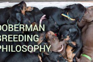 Doberman filosofía de cría - debe leer
