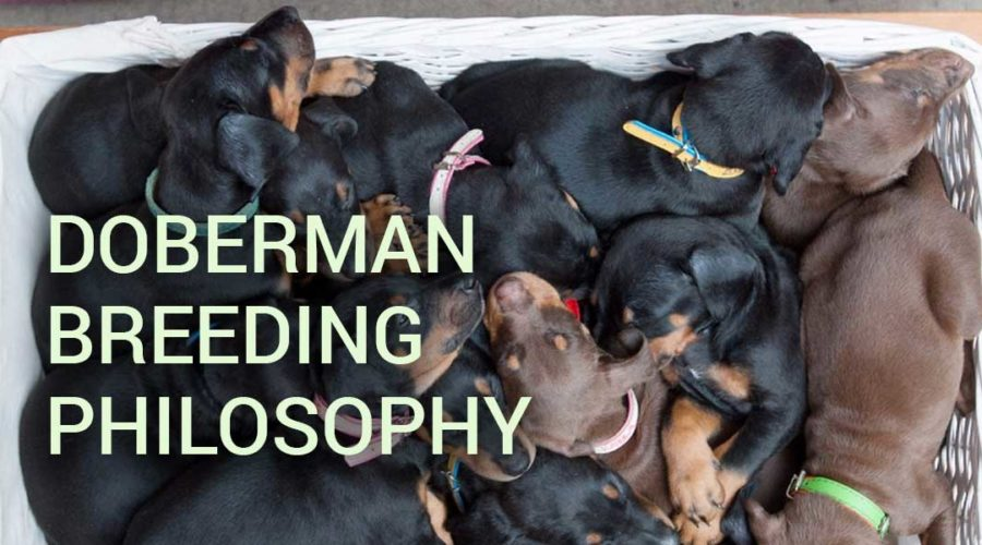 Doberman breeding philosophy – must read
