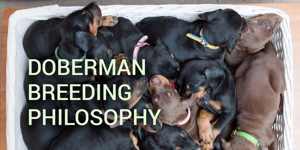 philosophie d'élevage de doberman européen