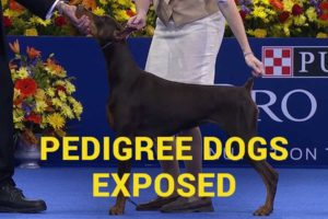 Изложени родовнички пси: Доберманн.