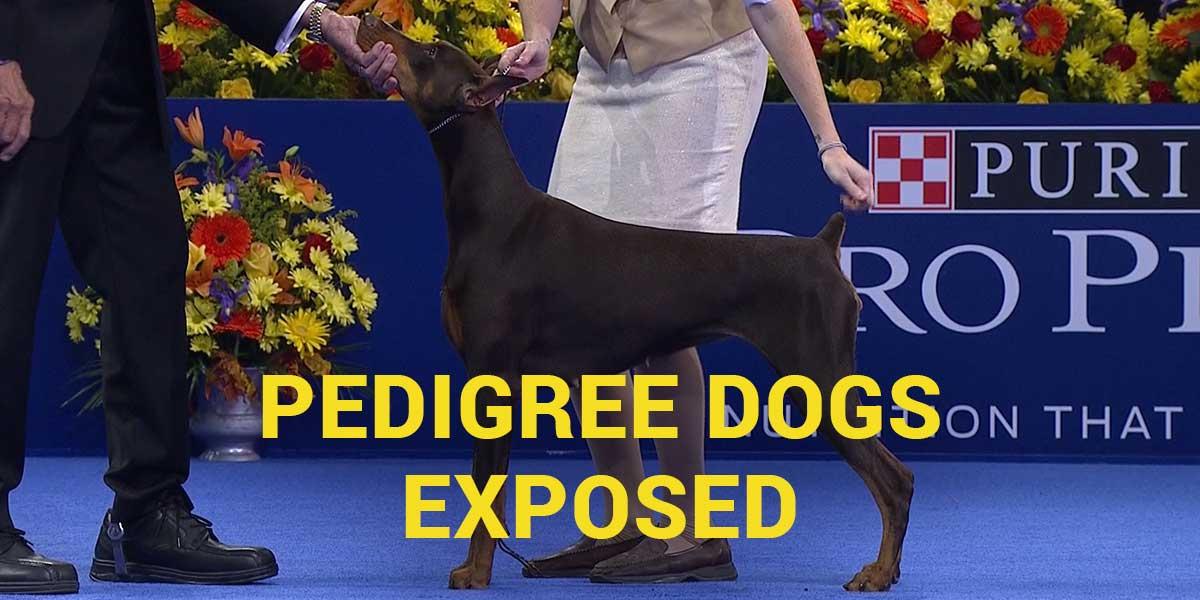 cães de pedigree expostos dobermann