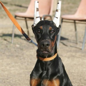 Doberman europeo