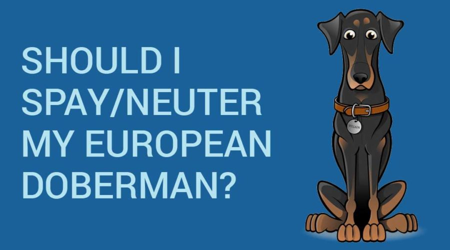 Should I spay-neuter my European Doberman?