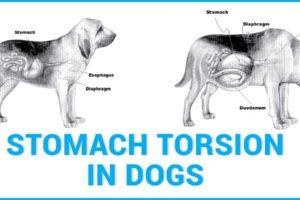 Skręt żołądka u psów