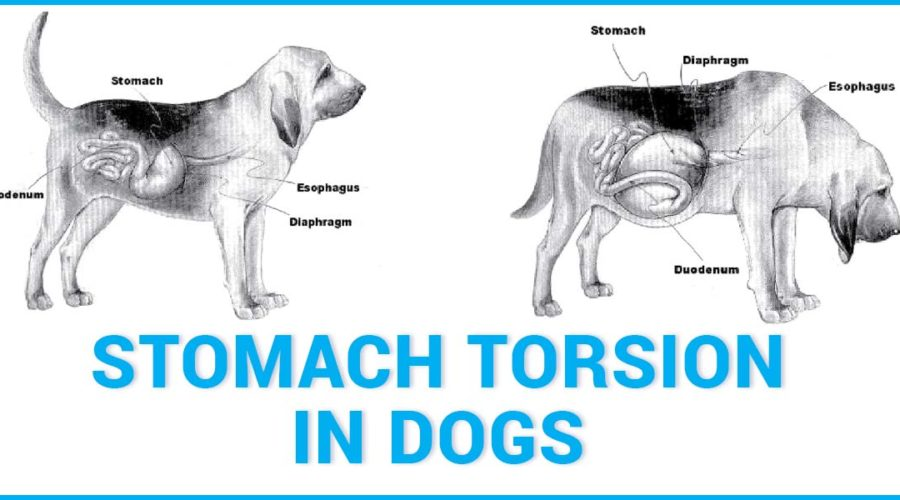 Stomach torsion in dogs