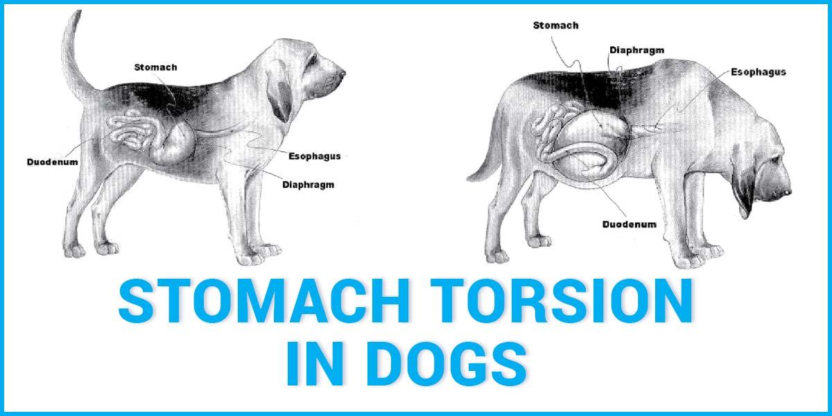 Torsiunea stomacului la câini