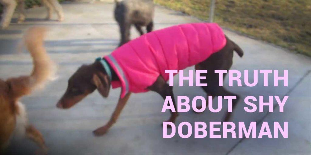schüchterner Dobermann - was steckt hinter diesem Verhalten?