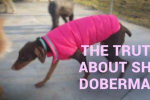 shy doberman - what's behind this behavior