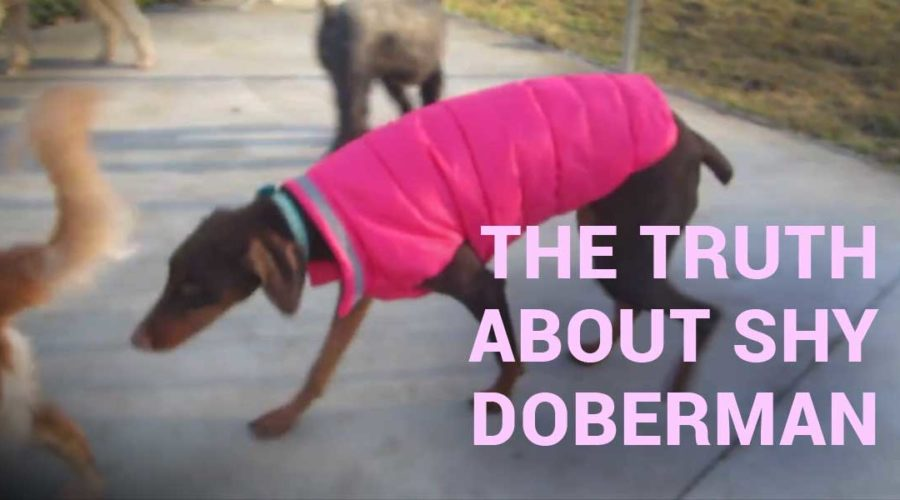 The truth about shy doberman